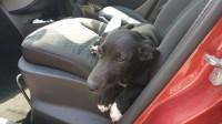 Found dog black pup female