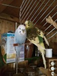 Budgie – green and yellow