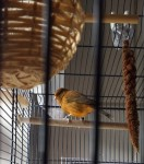 Male Canary/Finch lost in Thomondgate area of Limerick City