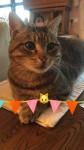 Missing Male Tabby Cat from Garryvoe