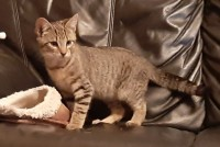 Tabby kitten – Found Ballincollig