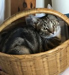 Grey tabby cat named Charlie missing in the Cahergal area of Gordon's Hill.