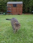 Poppy – Lost in Ballinlough Rd – Cork City- Small female Tabby