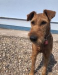 Irish Terrier lost in blackrock area