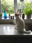 white cat lost in Ballyhooly