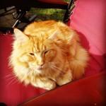 Lost cat – Crecora and Fedamore