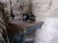 Black and White kitten in Inchigeelagh