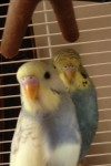 Two missing budgies
