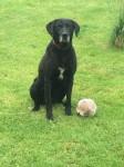 Male labrador crossbreed
