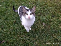 Male white/grey/black tabby found near Lombardstown/Glantane
