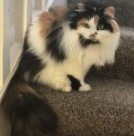 Female tricolor cat lost in Corbally, Limerick