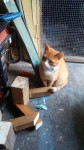 Lost female ginger cat from ballincollig