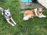 Lost Siberian husky and rough collie in Glenville , Cork