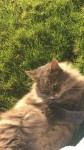 neutered male cat with long grey hair lost in the Glencairn (Glanmire) area