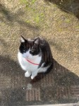 Black and white cat with red collar,