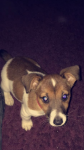 Male Jack Russell found Knocknaheeny