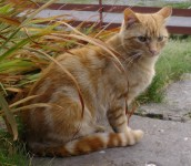 Ginger male lost in South Kerry