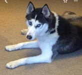 Female Siberian husky lost in Midleton/Dungourney/Lisgoold area