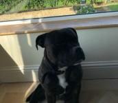 Lost black staffordshire  dog