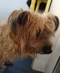 Found LH terrier, lane near Bantry Road