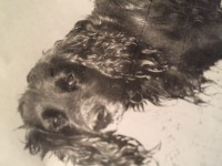 Black cocker spaniel lost in askeston