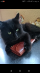 Black long hair cat missing in farranree