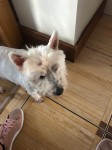 West highland terrier lost in ballincollig