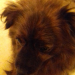 Male brown dog found rathcormac