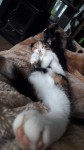 Female Kitten 1YR Old Fermoy
