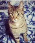 Tabby cat lost around Montenotte Hotel area