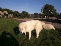 Female Pyrenean Mountain lost in West Waterford
