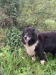Luna – female black and white collie, lost from Millstreet, rathcoole, kilcorney area