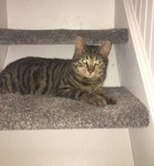 Lost Male Domestic Short Hair – Ballinlough, Cork