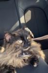 Lost female cat