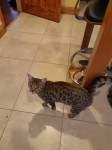 Neutered Female Bengal cross Cat Lost