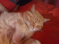 Male ginger cat lost in Athlone