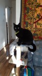 Missing male black cat with a reflector green collar from the popes quay area.