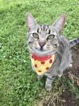 Brown tabby cat missing in Ballyneety Limerick