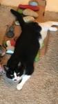 Lost Cat in Boreenmanna Road/Ballintemple/Ballinlough