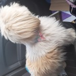 Shihzu type female dog , pink flowery collar .
