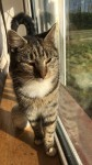 Brown tabby cat lost in Limerick