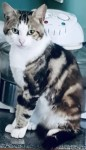 """Lost tabby and white cat, """"Finn"""", from Cashel road area in Cahir"""