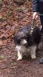 Female Terrier/Sheepdog cross lost in Castlelyons
