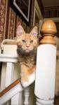 Lost ginger female cat Dingle