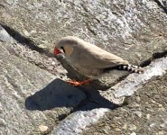 Zebra finch (male) found in Donoughmore, Co. Cork