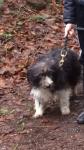Female terrier/ sheepdog  cross