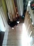 Female cat lost in Pearson's Bridge/ Ballylickey/ Kealkill, Bantry area
