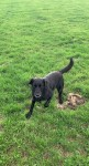 Female black lab/collie mix lost in Tipperary