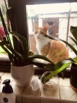 Rua a marmalade and white cat missing from Corbally Limerick