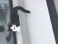 Black and white male cat red collar